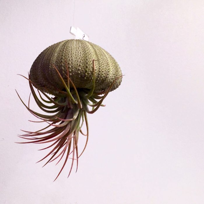 Hanging 'jellyfish' decor made of a sea urchin shell and air plant.
